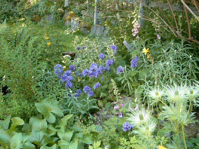 knaeuelglockenblumen schweden blütezeit