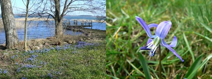 Blausternchen Scilla Blütezeit
