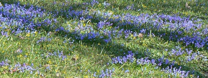 sibirischer Blaustern Scilla