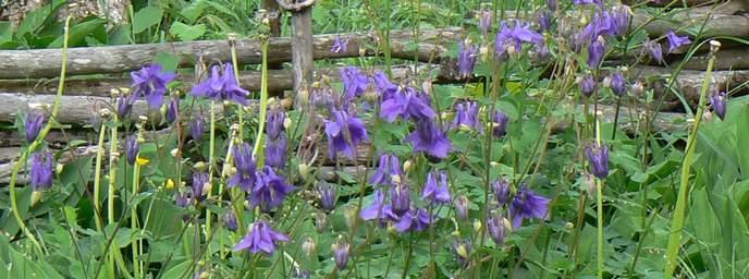 Pflanzensteckbrief Akelei lila blüten