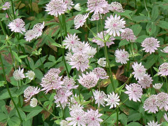 astrantia major Pflanzensteckbrief Blütezeit