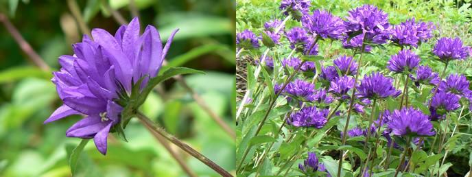 knäuel glockenblumen pflanzensteckbrief blütezeit