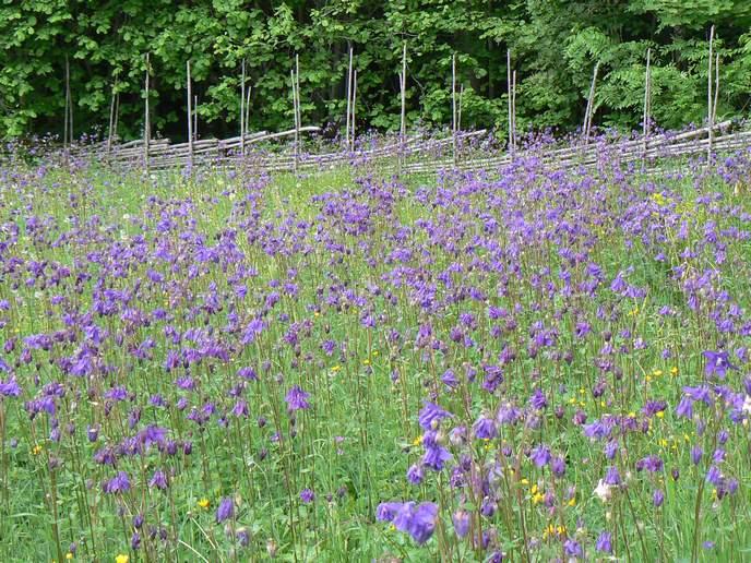 Pflanzensteckbrief Akelei Blütezeit