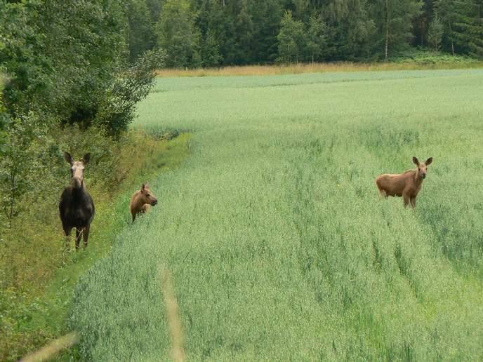 Elche beobachten sehen Elchkuh Elchkalb fressen Hafer